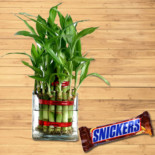Delightful Present of 2 Tier Lucky Bamboo Stalks in Glass Pot with Snickers Chocolate
