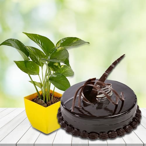 Good Luck Money Plant in Attractive Plastic Pot with Lip Smacking Chocolate Truffle Cake<br>